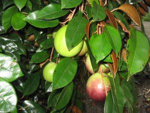 10 loại cây ăn quả giúp nông dân thu tiền tỷ