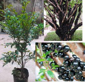Kỹ thuật trồng cây nho thân gỗ cho quả sai từ gốc lên ngọn